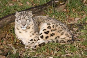 4778 - Snow Leopard by Jay-Co
