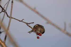 Common Redpoll by spartout