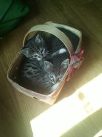 Basket Cats by SirCassie