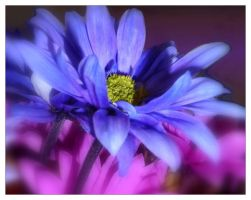 daisy in blue by sherln