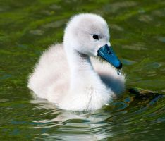 Little swanes_4 by artistmarty