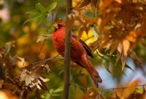 Northern Cardinal - Male - 2 - 2013 by toshema