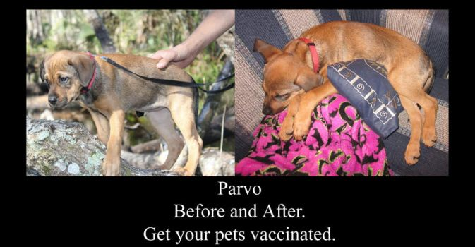 Parvo: Before and After by TheMidnightVixen