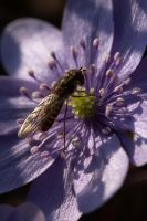 hoverfly by bookscorpion