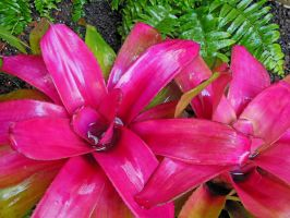 Hawaiian Bromeliads by joeyartist