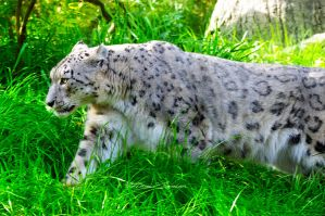 Snow Leopard by ashamandour