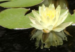 Water Lily's Reflection by I-Heart-Photos