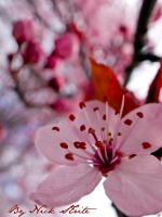 Spring Cherry Blossom by Strikethecamera
