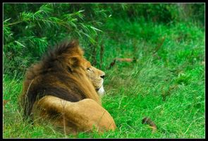 African Lion 56-079 by lomoboy