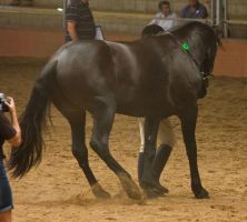 STOCK - 2014 Andalusian Nationals-215 by fillyrox