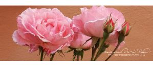 Pink Roses by RazielMB-PhotoArt