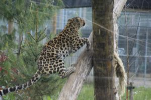 Amur Leopard 14 by lucky128stocks