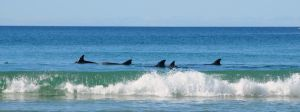 Dolphins by DPasschier
