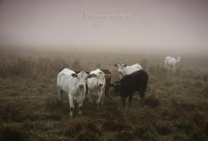 At present, cows by Sparvoga