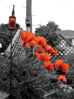poppies by rosesAREgreen