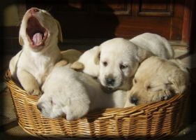 labrador puppies. by vigyori