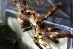 Poecilotheria regalis by Caloxort