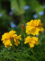 Yellow Marigold 02 by botanystock