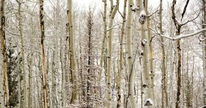 Colorado Aspen Stand 1920x1080 by inforcer