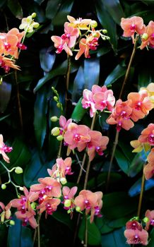 Wall of Orchids by leopardspots