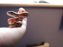 Corn snake 2 by Tilt-Stock