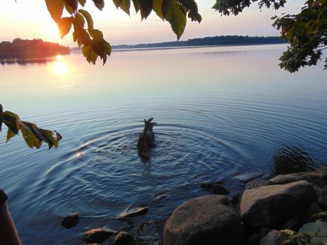 Dog in Water with Sunset by koolandkrazy