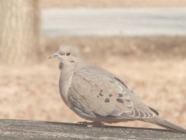 Mourning Doves at Noon by DragonflyLite