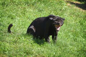Black Jaguar 2 by gypsymagick
