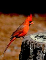 Male Cardinal 2-11-15 by Tailgun2009