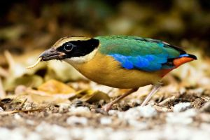 Blue Winged Pitta by yourloveleaves