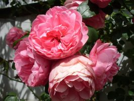 bundel of roses by t-e-z-z