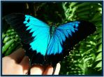 Ulysses Swallowtail by FNQ