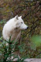 Artic Wolf #02 by vetchyKocour