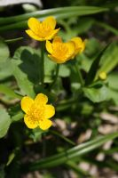 Caltha palustris by Kusu-dama