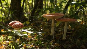 Different Stages of Amanita Muscaria in the Woods by Danimatie