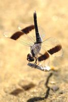 Dragonfly by Snazz84
