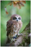 2013-105 Morepork by W0LLE