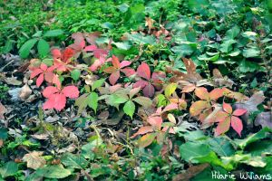 Colorful Ivy by FarorePhotography