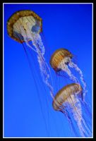 Jelly Fish by TomasGarcia