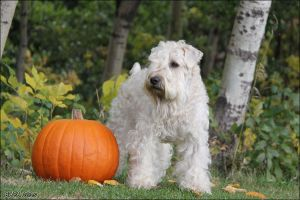 Wheaten and Pumpkin by Bafa