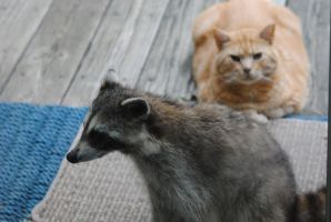 Coon Is Welcome by SpecialK42293
