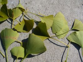 Ginko leaves on cement III by dull-stock