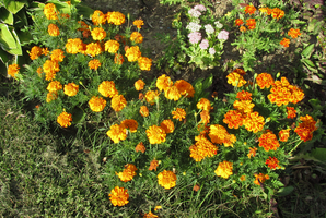 Marigolds Galore by WDWParksGal-Stock