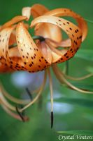 Rainy Michigan Lily by poetcrystaldawn