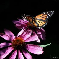The Monarch Butterfly III by hyneige