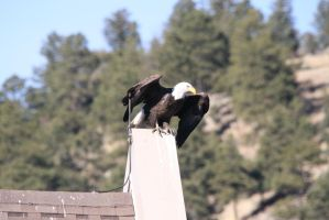 Bald Eagle on Office Roof Prepping for Lift Off by Shadow848327