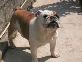 Bulldog stock by Barbieri49Stock