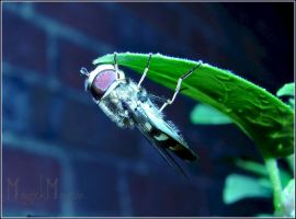 -Hoverfly at rest- by magickmagpie
