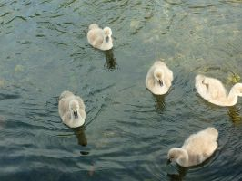 Baby Swans :Also stock: by Camalla