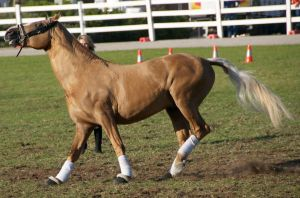 Palomino, spooking - Stock by hh-harley